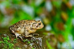 Eastern American toad (Bufo americanus americanus) (H. Fox) Tags: nature wet leaves rain rock toad lichen heavenlybamboo easternamericantoad sb800flash 105mmlens nikond800