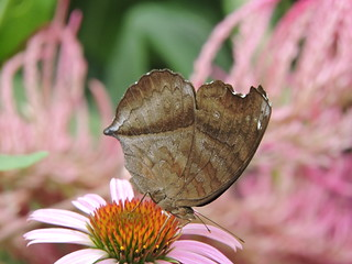 Junonia iphita/Chocolate Pansy/黯眼蛱蝶 (Liuzhou, Guangxi/广西柳州) DSCN0495