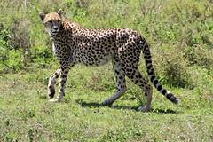 Female cheetah (kitz-travellers) Tags: africa tanzania afrika cheetah katze serengeti katzen gepard ostafrika tansania raubtier groskatzen