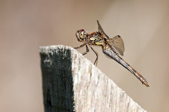 Dragonfly (djshoo) Tags: wood nature insect post wildlife flight reserve