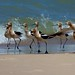American Avocets, with breeding plumage ~ Recurvirostra americana ~ Great Lakes and