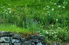 Fragment muru (Hejma (+/- 5400 faves and 1,7 milion views)) Tags: green castle nature grass daylight flora poland polska natura wildflowers zielony światło zamek trawa lipowiec polnekwiaty murobronny walldefensive