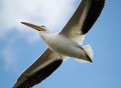American White Pelican (painguy007) Tags: bird minnesota pelican burnsville americanwhitepelican minnesotariver blackdoglake