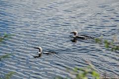 Black-throated loon (jukkarothlauronen) Tags: bird nature birds sweden sverige dalsland lom