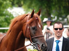 Chestnut (hyperionone) Tags: portrait horse face french head handsome ascot chestnut horseracing arabian racehorse thoroughbred rangali namid