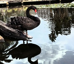 Reflections at Queens Gardens, Perth Western Australia. (marionmanuel) Tags: reflections blackswan queensgardensperth birdphotography