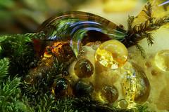 shroomie drops (Olaf Traumflieger) Tags: guttation ischnoderma resinosum laubholz harzporling