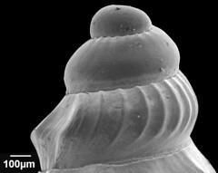 Gastropoda Lepicytara cymella (MaKuriwa) Tags: gastropoda moluscos