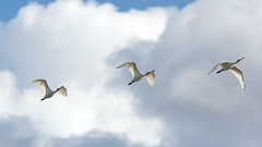 Lepelaar (kiekjesdief.nl/vogels) Tags: lepelaar