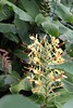 Ginger Lily (roger_forster) Tags: gingerlily hedychiumgardnerianum invasive plant faial azores roadside flower weed