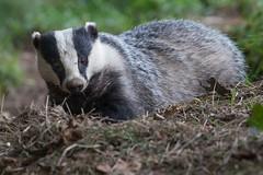 Badger (Mr F1) Tags: badger melesmeles johnfanning wild countryside feeding woodland nocturnal blackandwhite outdoors mammal