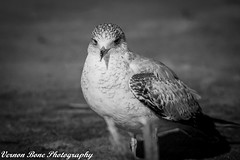 Beautiful Seagull (vernonbone) Tags: 2016 500mm autumn blackwhite d3200 eastpoint eastpointpark ice january2016 lakeontario lens november ontario beach birds bluffs closeup lake landscape nikon outside sigma street macrodreams