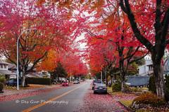 Colors of Fall (PhotoDG) Tags: colorsoffall street cityscape color foliage autumn maple leaf cherry season blending