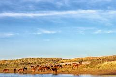 Dutch landscape (peterpj) Tags: noordhollands duinen sony colorefexpro4 a6300 holland lucht paarden horses sigma noordhollandsduinen