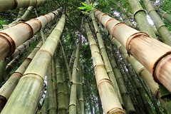 1 Forest Bamboo (Mertonian) Tags: bambo forest mertonian robertcowlishaw awe beauty beautiful wonder canon powershot g7x mark ii canonpowershotg7xmarkii maui2016 jungle paradise trees ineffable green nature wilderness lookingup hike bamboo