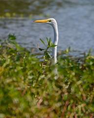 Periscope (brev99) Tags: tamron70300vc d7100 nikviveza egret bird bokeh marsh plants water pond ngc highqualityanimals