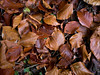 Autumn-Gold_1000329 (HJSP82) Tags: fallen leaves autumngold