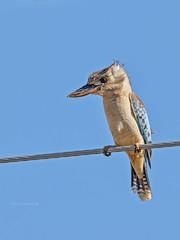 Blue-winged Kookaburra (Dacelo leachii) (Arturo Nahum) Tags: birdwatcher bird aves pajaros animal wildlife birding australia queensland bluewingedkookaburra daceloleachii