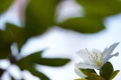 DSC07002 (@saka) Tags: autoupload leaves 481490 flowers 42004204