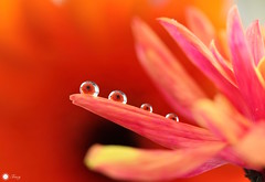Four-ever! (Trayc99) Tags: flower four petals beautyinnature beautyinmacro beautiful water droplets reflections drops gerbera macro closeup bright colorful floralart flowerphotography