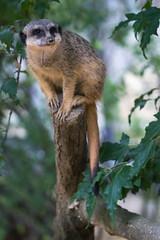 Meerkat (Cloudtail the Snow Leopard) Tags: erdmnnchen zoo augsburg tier animal mammal sugetier suricata suricatta scharrtier surikate meerkat