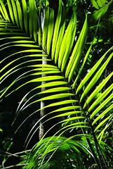 Soleil et palme. (Claudia Sc.) Tags: brasil brazil saopaulo jardin botanique vgtal geometry geomtrie