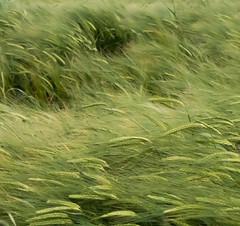 Bl par grand vent (FloreB.) Tags: wind storm wheatfield bl vent structures outside nature agriculture couch