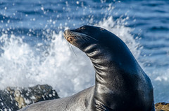 I'm FABULOUS (Joshua Kling) Tags: elephant seal water ocean waves california san diego wildlife