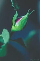 Budding Miniature Rose (PeaTree Creations) Tags: miniaturerose petiterosebud botany budding flowerbud nature flowerphotography macrophotography sepal peatreecraetions debrapetrephotography
