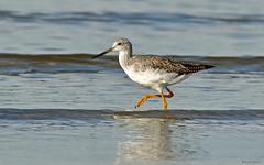 Greater Yellowlegs - 094A0514b3c (Sue Coastal Observer) Tags: greateryellowlegs grye tringamelanoleuca blackiespit surrey bcbritishcolumbia canada shorebirds
