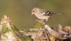 Chaffinch (Willbury not about much.) Tags: canon canon7d chaffinch bird blunsdon willbury wilts wildlife sigma300