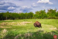 Spring coat (Kasia Sokulska (KasiaBasic)) Tags: fujix canada alberta elkislandnp nature spring bison animal wildlife
