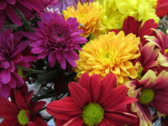 Monday, 7th, Colourful blooms IMG_9333 (tomylees) Tags: monday 7th november 2016 upminster essex