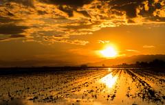 Pajaro (carlosmotje) Tags: deltaebro ebro 750d canon puesta sol siembra arroz pajaro reflejo horadorada