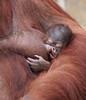 orangutan Lea and baby Krefeld JN6A1940 (j.a.kok) Tags: orang orangoetan orangutan primaat primate azie asia aap ape monkey lea krefeld mammal zoogdier animal motherandchild moederenkind baby