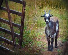 """"""" Goat Dreiländerwald """" (Kalbonsai) Tags: geit goat ziege dreiländerwald nikon d5100 55300mm outdoorphotography naturshot hekwerk germany"""