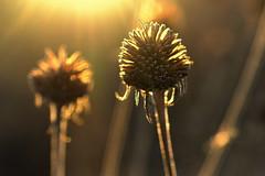 coming home (joy.jordan) Tags: seedpods texture light sunset autumn bokeh cominghome bornjoy mindfulness