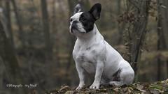 H-10 (Jrg Plesch) Tags: bully fun franzsischebulldogge franzsische franchi franch bulldog tiere haustiere haustier hund dog schwarzweiss