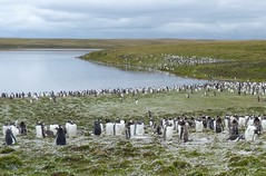 Gentoo Penguin Colony at Bluff Cove, Falkland Islands (Joseph Hollick) Tags: falklandislands bluffcove gentoopenguin penguin penguincolony