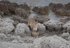 Chile (richard.mcmanus.) Tags: chile puma patagonia cat cub torresdelpaine wildlife animal mcmanus