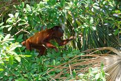 Wyjec | Howler monkey