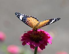 Painted lady near Tsukimiya (Geoff Buck) Tags: japan butterfly paintedlady tsukimiya nakasendo closeup macro