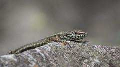 Lizard (kuhnmi) Tags: lizard eidechse sunbath rock animal tier tierwelt fauna tierreich reptil reptile switzerland schweiz nature natur locarno wildlife