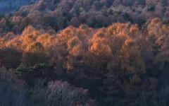 Golden Ones (jasohill) Tags: autumn october landscape tohoku vibrant city 2016 akita trees adventure travel golden life colors hachimantai color photography japan nature backgrounds