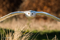 Snowy Owl approaching fast and low D50_5591.jpg (Mobile Lynn) Tags: hawkconservancytrust owls snowyowl birds nature captive bird fauna strigiformes wildlife nocturnal testvalleydistrict england unitedkingdom gb coth specanimal coth5 sunrays5