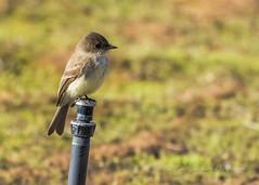 Eastern Phoebe (cbjphoto) Tags: bolsachica carljackson ecological photography reserve avian bird eastern phoebe