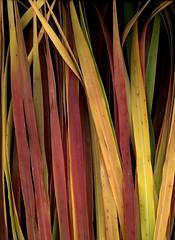 57869.01 Miscanthus sinensis 'Purpurascens' (horticultural art) Tags: horticulturalart miscanthussinensispurpurascens miscanthus miscanthussinensis grass leaves blades