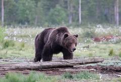 European Brown Bear walking across open grass towards log (Paul Cottis) Tags: paulcottis finland 21 june 2016 boreal