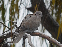 Ring Necked Dove (starmist1) Tags: dove willow branch leaves tree sky ringneckeddove firstsnow