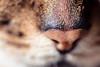 Leia (Katherine Ridgley) Tags: toronto cat feliscatus felissilvestriscatus domesticcat felis feline felinae felidae mammal mammalia carnivore carnivora animal animalia purebred purebreed purebredcat femaleabyssinian femalecat ruddyabyssinian ruddy usualabyssinian usual pet cute nose catnose detail macro